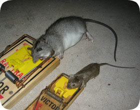 Houston Rat Amp Mouse Control Rodent Removal Company